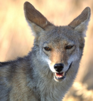 A Rumor of Coyotes